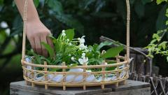 Woman cutting flower in garden and put in basket. Stock Footage