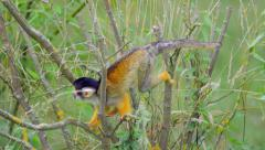 Squirrel monkey on a branch Stock Footage