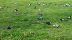 Pigeons eating grass in the park Stock Footage