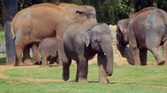 Stock Video Footage of Elephants in the zoo walking in big open space