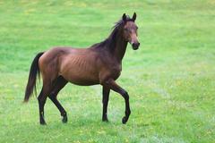 Running wild horse - stock photo
