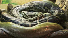 Pythons curled Stock Footage