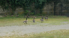 Children Run After Canada Geese Stock Footage