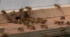 Honey bees leaving hive - stock footage