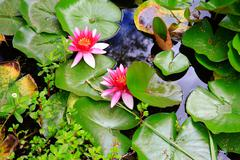 Pink water lilies in Mission Station park near Stone House in KeriKeri  durin - stock photo