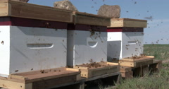 Honey bees emerge from new hives - stock footage