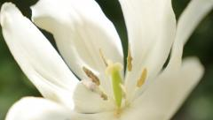 Tulipa Purissima petals and pestal in the garden slow tilt 4K 2160p UltraHD f Stock Footage