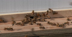 Honey bees emerging from new hive Stock Footage