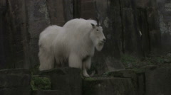Mountain Goat moving right to left Stock Footage
