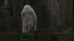 Mountain Goat Ascends Mountain Stock Footage