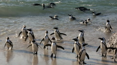 African penguins swimming and standing on beach Stock Footage