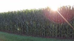 CornField Low2High Stock Footage