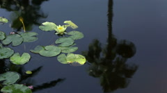 Water lily and frog on it's leaves with the reflection of trees in the water Stock Footage