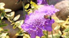Bee on Scabiosa flower Stock Footage