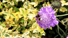 Bumble bee on Scabiosa flower Stock Footage
