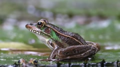 Eastern Leopard Frog on Lily Pad Stock Footage