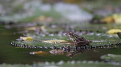 Southern Leopard Frog on Lily Pad - stock footage