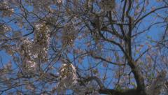 Budding Tree in Slow Motion Stock Footage