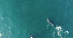 Aerial of 2 Humpback Whales - stock footage