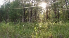 Green summer forest in eastern Siberia near Lake Baikal, birch and cedar Stock Footage
