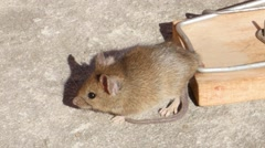 House Mouse In A Mousetrap Stock Footage