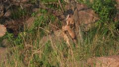 Lion cub (Panthera leo) playing with a tree Stock Footage