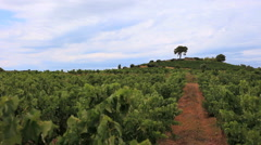 Languedoc vineyards Lonely Tree- south of France 4 Stock Footage