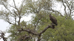A Cape vulture sitting on a branch Stock Footage