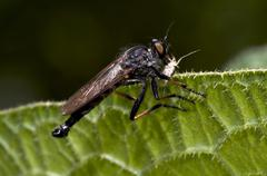 robber fly with food - stock photo