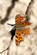 butterfly - Polygonia c-album - stock photo