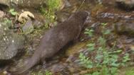 Stock Video Footage of European otter (lutra lutra) roams across rocky stream