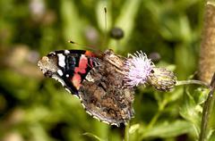 butterfly - Vanessa atalanta  Stock Photos