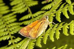 Butterfly - Ochlodes sylvanus Stock Photos