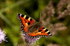 butterfly - Aglais urticae - stock photo