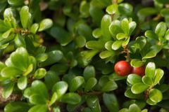 Fruit of the Bearberry Arctostaphylos uva ursi - stock photo
