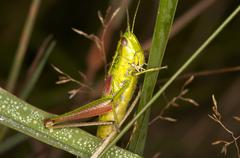 grass-hopper - stock photo