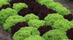 Plant bed with lettuce Lollo Rosso (red) and Lollo Verde (green) Stock Footage