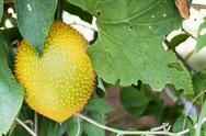 Stock Photo of Spring Bitter Cucmber or Gac fruit
