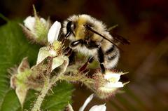 bumble-bee - stock photo