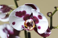 orchis tribe Phaleopsis - stock photo