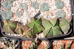 Stock Photo of bishop´s cap cactus