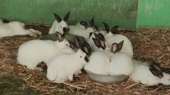 White rabbits with black ears Stock Footage