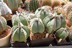 Bishop´s cap cactus Stock Photos