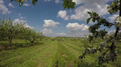 Landscape with flowering apple-trees , 4K Stock Footage