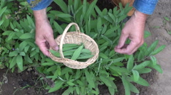 Gardener collecting medical herb sage leaves Stock Footage