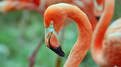 Flamingos in the zoo from close up Stock Footage