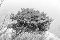 Snowy pine bush Stock Photos