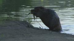 Beaver Out of Water With Sticks - stock footage