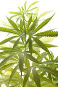 Fresh Marijuana Plant Leaves on White Background Stock Photos