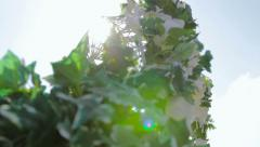 Ivy On Arch Sun Flare - stock footage